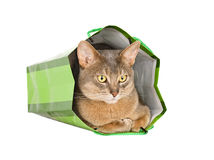 Abyssinian cat in green bag royalty free stock photography