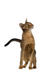Abyssinian cat half-sitting with a curious snout Stock Photos