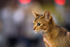 Abyssinian cat. Head portrait of a young pedigree cat Royalty Free Stock Image
