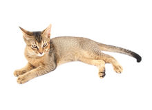 Abyssinian cat isolated royalty free stock photo