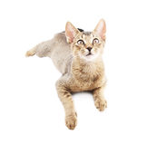 Abyssinian cat isolated Royalty Free Stock Image