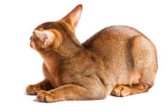 Abyssinian cat. Isolated on white background royalty free stock image