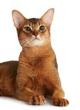 Abyssinian cat isolated on white background Royalty Free Stock Image