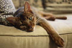 Abyssinian cat. Laying on the sofa Stock Images