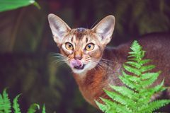 Abyssinian cat licks like a predator,. Photo in natural conditions royalty free stock image