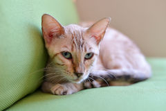 Abyssinian cat looking Royalty Free Stock Image