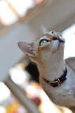 Abyssinian cat looking Royalty Free Stock Photos