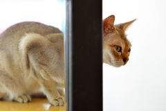 Abyssinian cat looking Royalty Free Stock Images