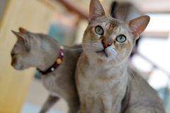 Abyssinian cat looking Stock Images