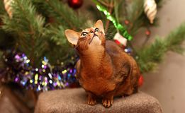 Abyssinian cat looks at the shiny ribbon. royalty free stock images