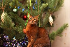 Abyssinian cat looks at the shiny ribbon. royalty free stock image