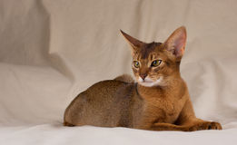 Abyssinian cat lying in bed. Studio shot Stock Image