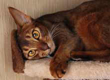 Abyssinian cat lying in cat house Stock Photo