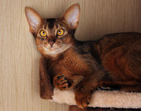 Abyssinian cat lying in cat house Royalty Free Stock Photo