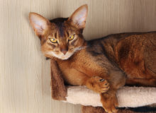 Abyssinian cat lying in cat house Royalty Free Stock Image