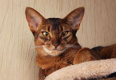 Abyssinian cat lying in cat house Royalty Free Stock Images