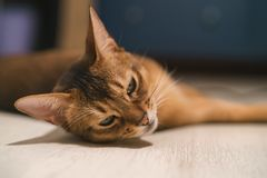 Abyssinian cat lying on the floor sad Stock Photos