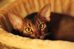 Abyssinian cat lying in its bed Stock Photo