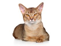 Abyssinian cat lying on a white background. Royalty Free Stock Image