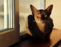 Abyssinian cat lying in windowsill Royalty Free Stock Photography