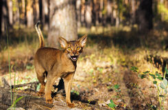 Abyssinian cat outdoors looking excited Stock Images