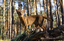 Abyssinian cat outdoors looking excited Royalty Free Stock Photo