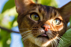 Abyssinian cat. Outdoors in the summer royalty free stock photos