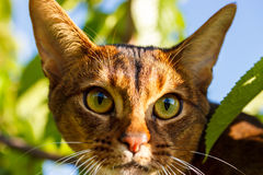 Abyssinian cat. Outdoors in the summer royalty free stock photo