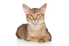 Abyssinian cat over white background royalty free stock photos