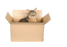 Abyssinian cat in paper box. Isolated on white royalty free stock photo