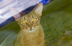 Abyssinian cat. The photo of an Abyssinian cat, sidashchy behind glass Stock Photography