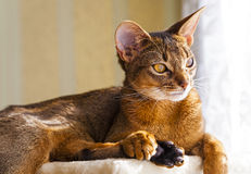 Abyssinian cat. The photographed Abyssinian cat. the cat has a rest. focus on eyes stock photos
