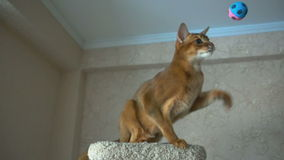Abyssinian cat playing stock video footage
