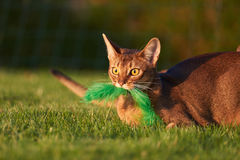 Abyssinian Cat playing at the lawn in the garden. Abyssinian Cat playing with a green toy at the lawn in the garden stock photo