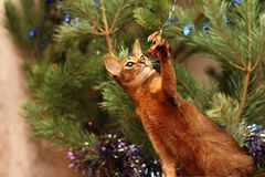 Abyssinian cat playing with tinsel. Pets are always involved in the preparation for the holiday. stock photos