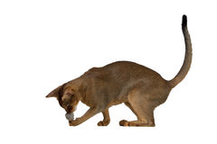 Abyssinian cat plays with a ball stock photos