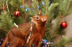 Abyssinian cat plays near the Christmas tree. Tinsel hung on the cat`s mustache. stock image