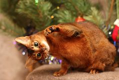Abyssinian cat plays near the New Year tree. stock image