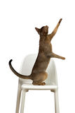 Abyssinian cat plays standing on its hind legs on a chair Stock Images