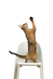 Abyssinian cat plays standing on its hind legs on a chair Stock Photo