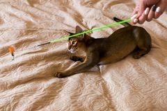 Abyssinian cat plays with toy long ears and short hair royalty free stock image