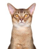 Abyssinian cat portait Stock Image