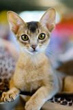 Abyssinian cat portrait. Animals: close-up portrait of young abyssinian cat stock photography