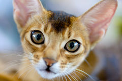 Abyssinian cat portrait. Animals: close-up portrait of young abyssinian cat stock image