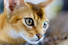Abyssinian cat portrait Royalty Free Stock Images