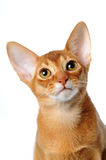 Abyssinian cat portrait isolated on white. Abyssinian cat sorrel color portrait isolated on white and looking up Royalty Free Stock Photography