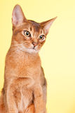 Abyssinian cat. Portrait of an Abyssinian cat on yellow background stock image