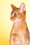 Abyssinian cat Royalty Free Stock Images