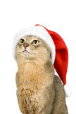 Abyssinian cat in Santa's hat isolated on white