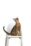 Abyssinian cat sits and cries on a chair Stock Photography